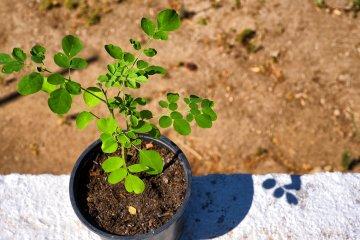 moringa plant kopen
